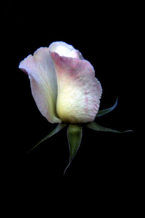 foto rose Teo
