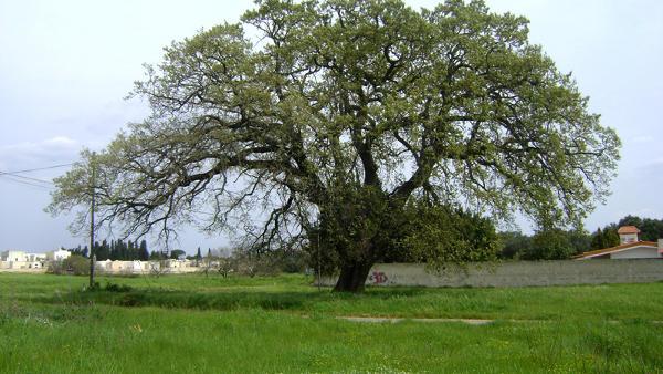 Masseria Capirrone, la quercia secolare